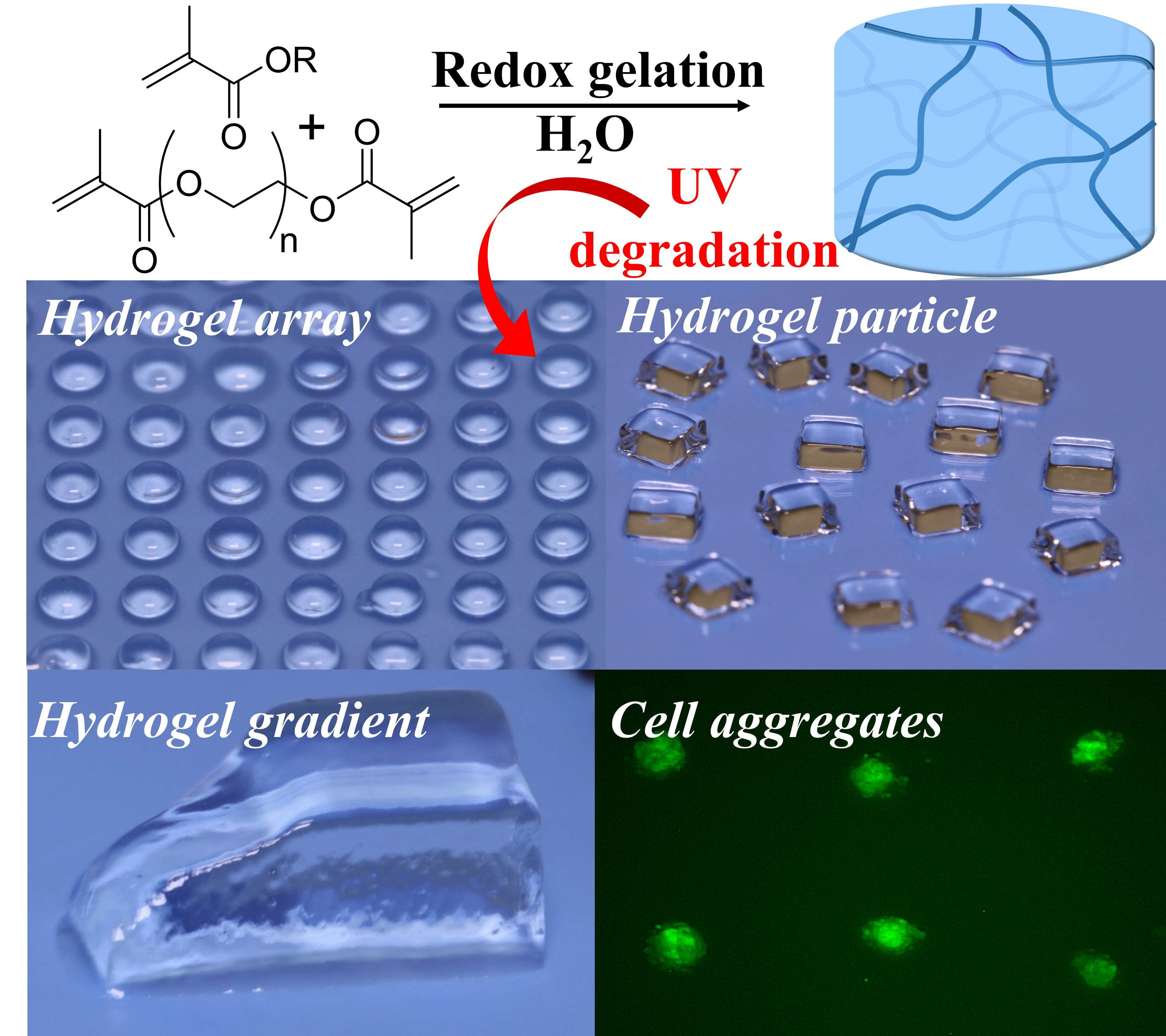 ToC Photodegradable Hydrogels 1